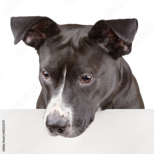 Black dog looking down and leaning on panel isolated on white