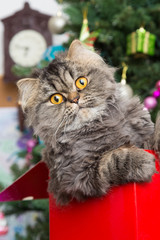 Persian kitten sitting in red box under Christmas tree