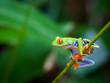 Red eye frog - 60253562