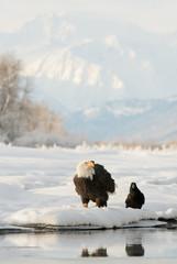 Bald eagle ( Haliaeetus leucocephalus ) and Black Raven.