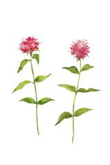ベルガモットの赤い花