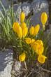 canvas print picture - Gelbe Herbstzeitlose in Apulien