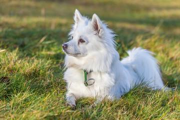 Weißer Spitz Hund