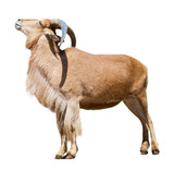 Female barbary sheep. Isolated over white