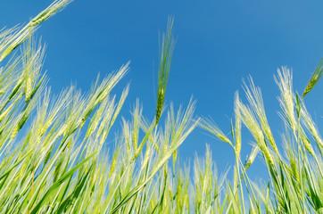 blue sky over green barley