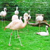 Pink flamingos at the zoological garden poster