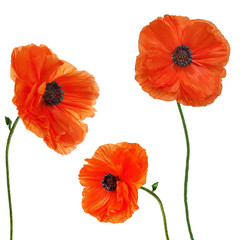 Set of single poppy flowers isolated on white background.