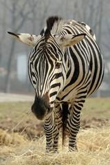 Zebra di Grant