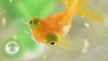 Close-up of a goldfish eating in slow motion