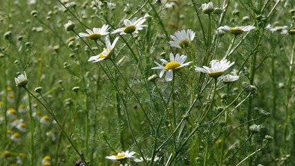 Blooming camomile medical.