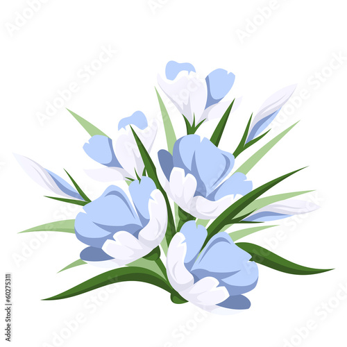 Blue crocus flowers. Vector illustration.