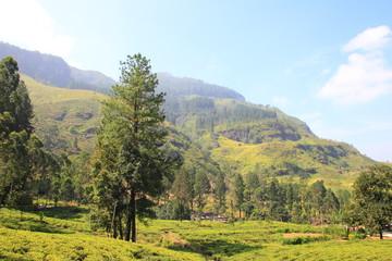 Ceylon tea plantation in Sri Lanka