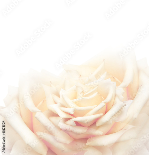 Cream rose background