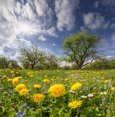 Dandelions on a green meadow in sunlight