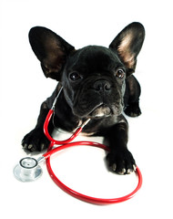 dog and a stethoscope