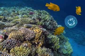 Coral reef and Jelly Fish Underwater Photo