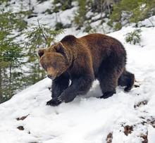 L'ours brun dans les bois en hiver