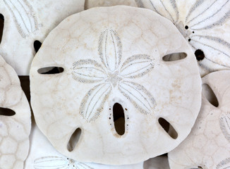Close view of old sand dollars