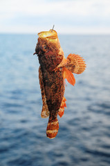 Red Rock Sea Fish