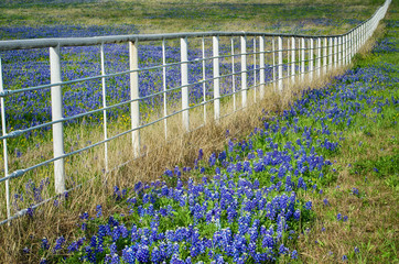 Texas bluebonnets blooming by white fence in the spring