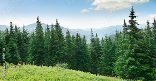 Beautiful pine trees - 60304166