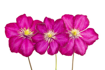pink clematis isolated on white background