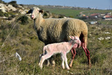 sheep giving birth in rural areas
