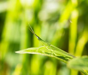 Grasshopper on the green grass