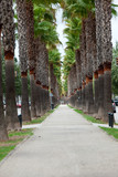 The neverending avenue with palms in Manacor. Majorca, Spain