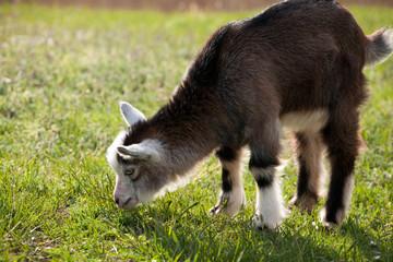 Portrait of a juvenile goat
