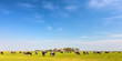 Panoramic image of milk cows on the Dutch island of Texel