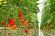 tomatoes - 60317119