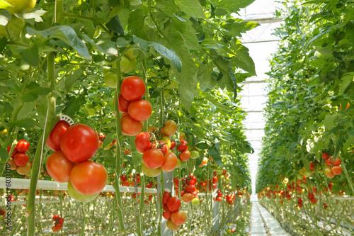 Papiers peints Legume tomatoes