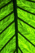 abstract leaf and his veins background 4 green  black    in the