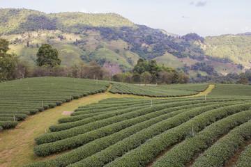 Green tea garden in Chiangrai, Thailand