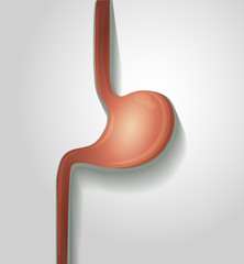 Human stomach illustration