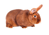 Purebred rabbit. Isolated on white background