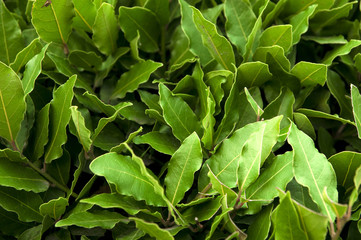 bush of laurel leaves