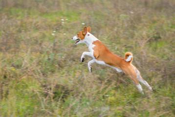 Gorgeous basenji dog in jump