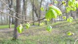 unfolding linden lime tree bud leaf move in spring wind in park