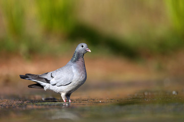 Stock dove, Columba oenas