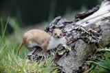 Weasel, Mustela nivalis, poster