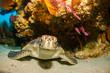 Green turtle - 60335510