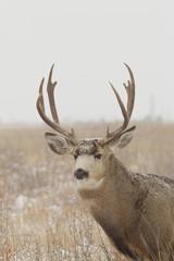 Mule deer Buck Portrait in Snow