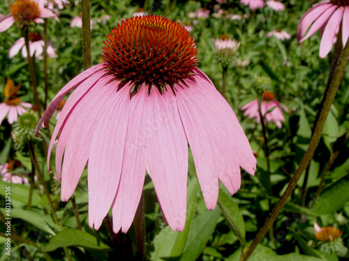 Mauve-pink petals coneflower close