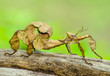 Leinwandbild Motiv A close-up shot of a Spiny leaf insect