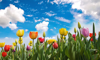 Happy Easter: Tulip field with blue sky :)