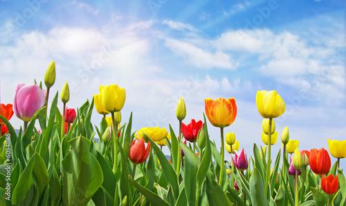 wesolych-swiat-pole-tulipanow-z-niebieskim-niebem