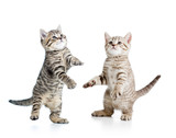 two playful funny kitten isolated on white background