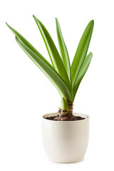Fresh fleshy green Amaryllis leaves in flowerpot